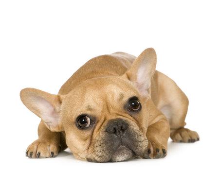 perro boxer: Bulldog franc�s (7 meses) delante de un fondo blanco