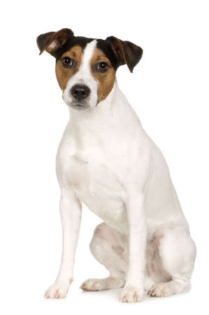 jack russell: Parson Russell Terrier (2 years) in front of a white background Stock Photo
