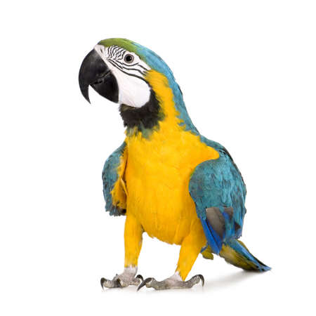 Young Blue-and-yellow Macaw - Ara ararauna (8 months) in front of a white background Stock Photo