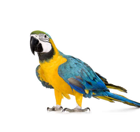 macaw: Young Blue-and-yellow Macaw - Ara ararauna (8 months) in front of a white background Stock Photo