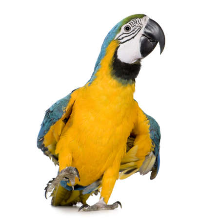 parrot: Young Blue-and-yellow Macaw - Ara ararauna (8 months) in front of a white background Stock Photo