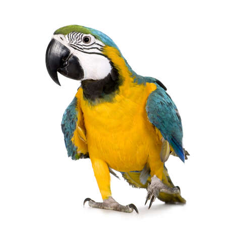 covet: Young Blue-and-yellow Macaw - Ara ararauna (8 months) in front of a white background Stock Photo