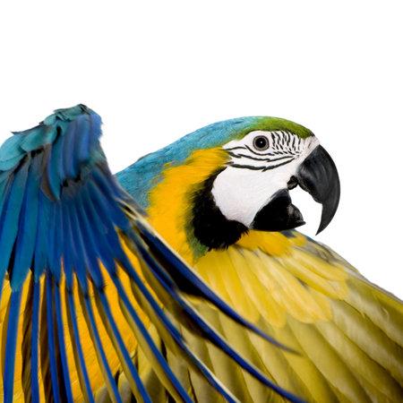 ararauna: Pareja Azul y amarillo Macaw - Ara ararauna (8 meses) delante de un fondo blanco Foto de archivo