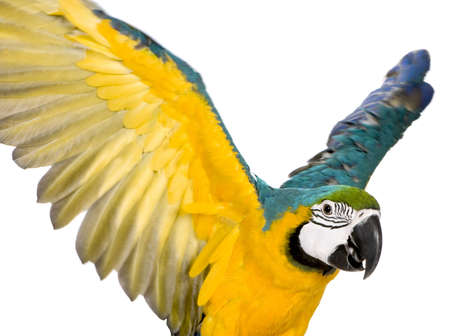 parrot flying: Young Blue-and-yellow Macaw - Ara ararauna (8 months) in front of a white background Stock Photo