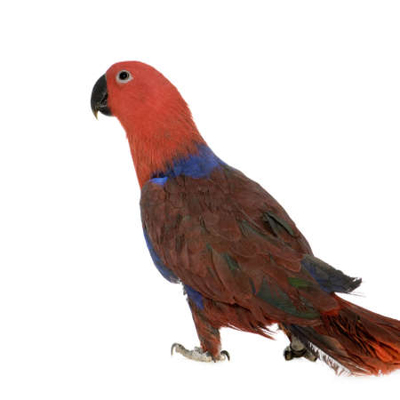 eclectus: Eclectus Parrot - Eclectus roratus (1 years) in front of a white background