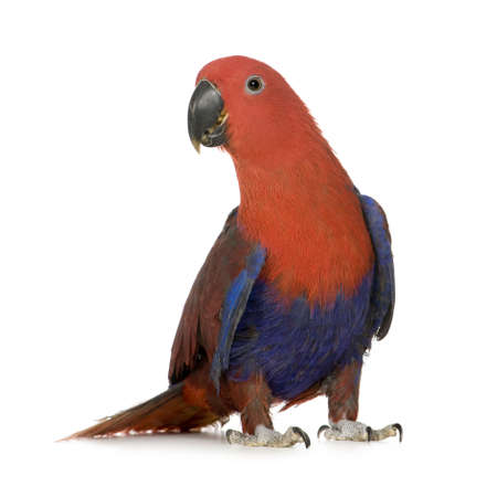 eclectus parrot: Eclectus Parrot - Eclectus roratus (1 years) in front of a white background