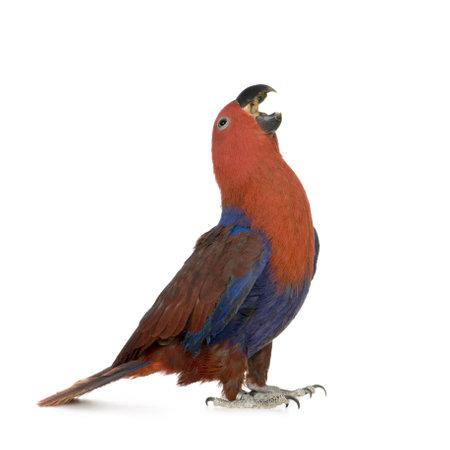 loro: Eclectus Parrot - Eclectus roratus (1 a�o) delante de un fondo blanco  Foto de archivo
