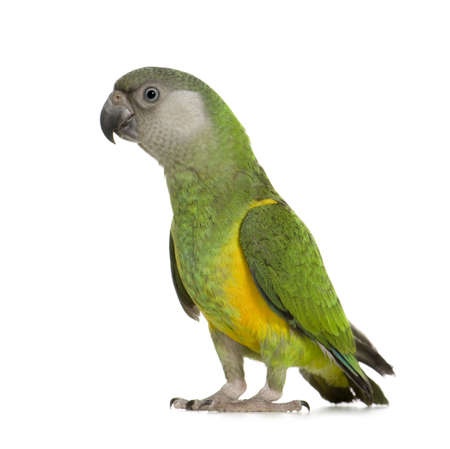 loros verdes: Senegal Parrot - Poicephalus senegalus delante de un fondo blanco