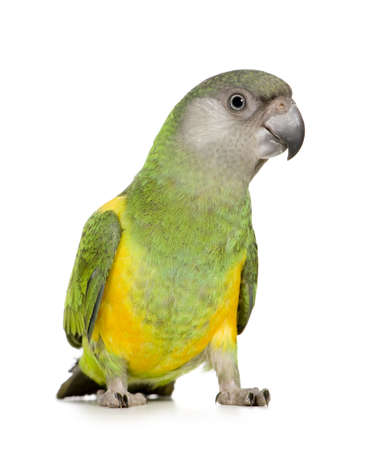 loro: Senegal Parrot - Poicephalus senegalus delante de un fondo blanco