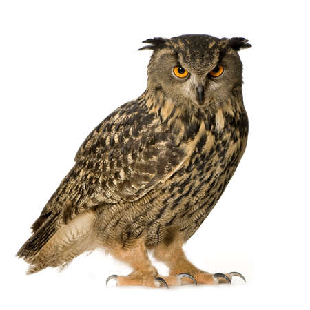 birds of prey: Eurasian Eagle Owl - Bubo bubo (22 months) in front of a white background Stock Photo