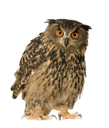 eurasian: Eurasian Eagle Owl - Bubo bubo (22 months) in front of a white background Stock Photo