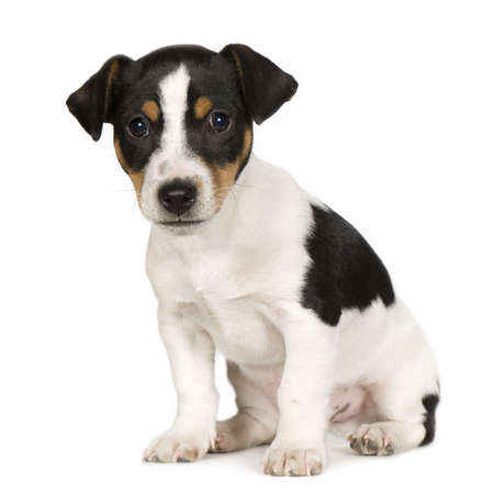 Jack russell (2 months) in front of a white background Stock Photo