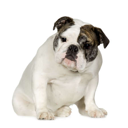 stitting: English Bulldog (15 months) in front of a white background