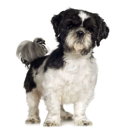 shih tzu: Shih Tzu (5 years) in front of a white background Stock Photo