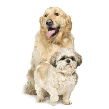 tzu: Golden Retriever and Shih Tzu in front of a white background.
