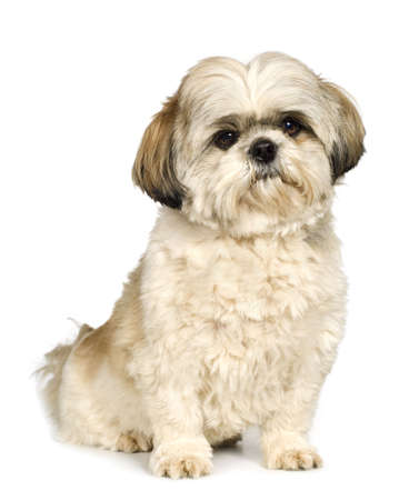 tzu: Shih Tzu (5 years) in front of a white background Stock Photo