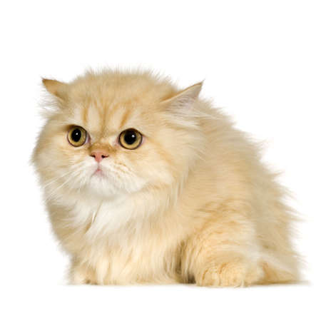 bothered: Young persian cat (6 months) in front of a white background Stock Photo
