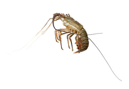 spiny lobster: Spiny lobster in front of a white background