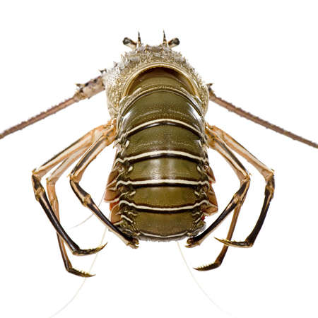 Spiny lobster in front of a white background