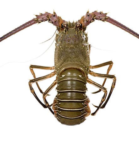 palinuridae: Spiny lobster in front of a white background