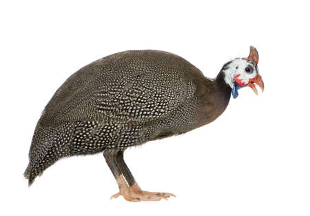 fowl: Helmeted guinea fowl - Numida meleagris in front of a white background