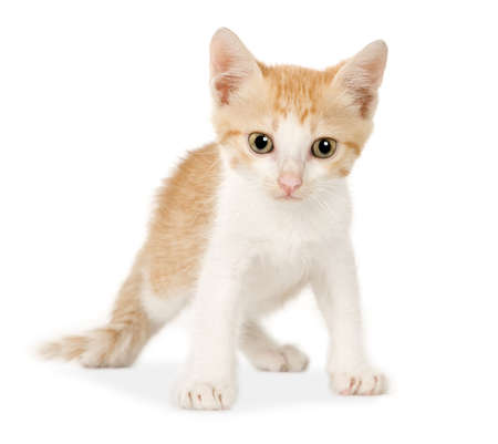 moggi: Kitten in front of a white background Stock Photo