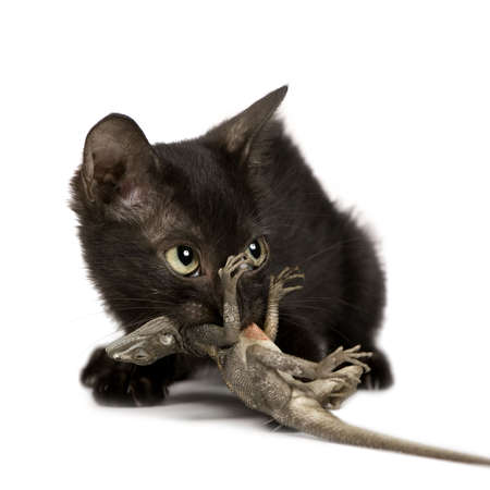 moggi: Wild Kitten in front of a white background, He was catched in a village in Benin, he was playing with a lizard