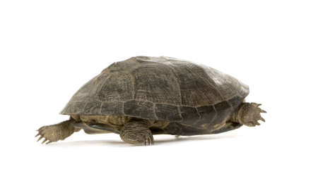 tardy: Turtle - p�lusios subniger in front of a white background