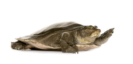 aquatic reptile: soft-shell turtles  - : Trionychidae in front of a white backgroung