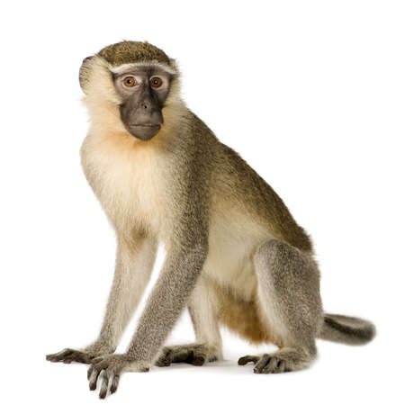 Vervet Monkey -  Chlorocebus pygerythrus in front of a white background Stock Photo