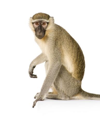 Vervet Monkey -  Chlorocebus pygerythrus in front of a white background Stock Photo