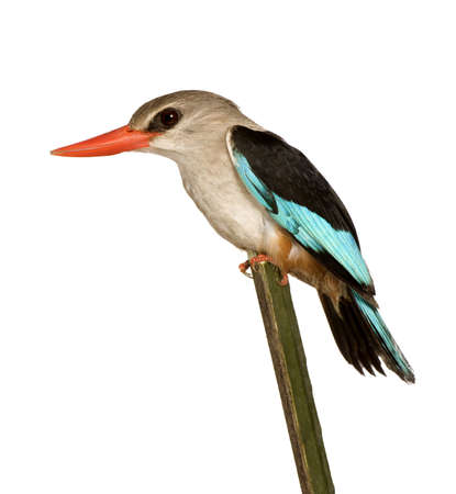 Woodland Kingfisher - Halcyon senegalensis in front of a white background. photo
