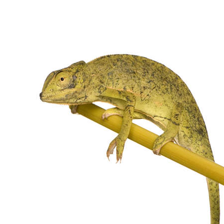 tardy: Chameleon Chamaeleo gracilis or dilepis in front of a white background, we bought him at the Voodoo market in Benin, he has black marks on his nose that come from the captivity conditions. He was released in the nature after the shooting. Stock Photo