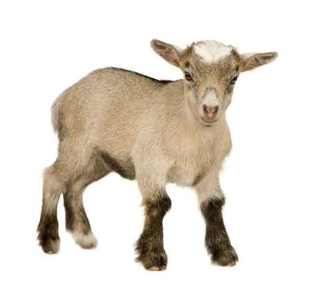 pygmy goat: Young Pygmy goat in front of a white background Stock Photo