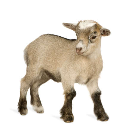 goats: Young Pygmy goat in front of a white background Stock Photo