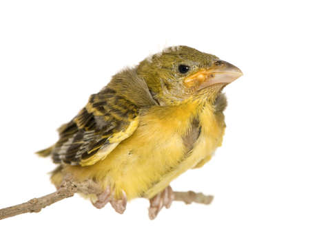 weaver: Young Village Weaver in front of a white background