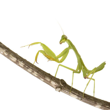 predatory insect: praying mantis - Mantis religiosa in front of a white background Stock Photo