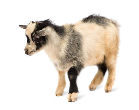 pygmy goat: Young Pygmy goat in front of a white background, these photos were taken in Benin, their red coloration comes from the local clay like dust. Stock Photo