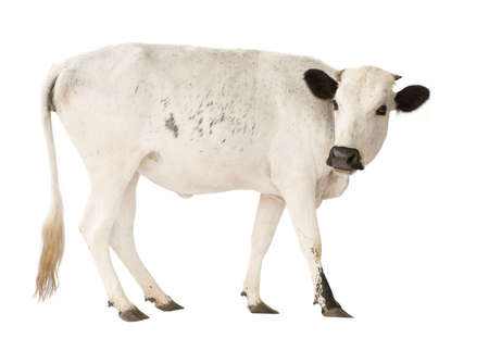 Cows from Benin in front of a white background Stock Photo - 3055489