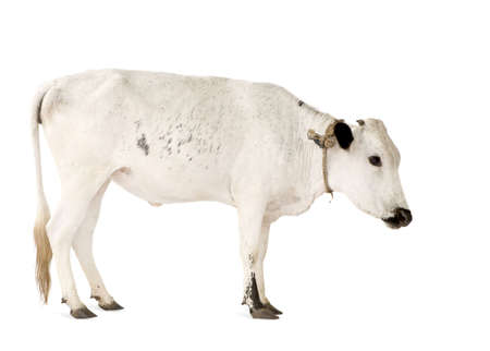 Cows from Benin in front of a white background Stock Photo - 3055410