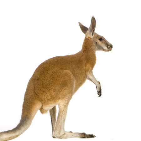 young red kangaroo (9 months) - Macropus rufus in front of a white background Zdjęcie Seryjne
