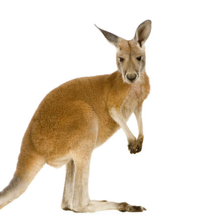 young red kangaroo (9 months) - Macropus rufus in front of a white background Фото со стока