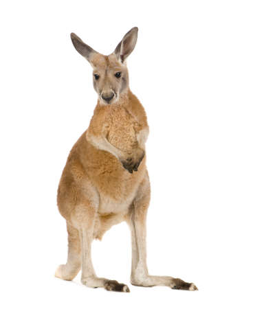 9 months: young red kangaroo (9 months) - Macropus rufus in front of a white background Stock Photo