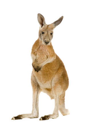 young red kangaroo (9 months) - Macropus rufus in front of a white background Imagens