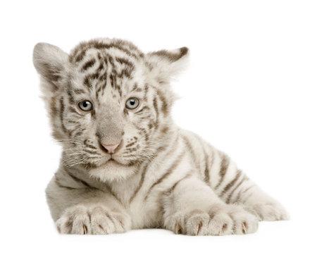 tiger cub: Tigre blanc cub (2 mois) en face de fond blanc
