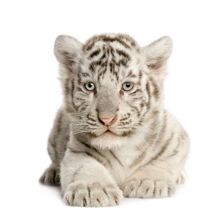 カブ: 白い背景の前で白トラの赤ちゃん (2 ヶ月)