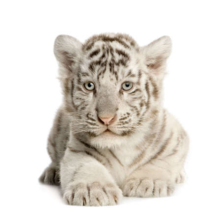 cub: White Tiger cub (2 months) in front of a white background