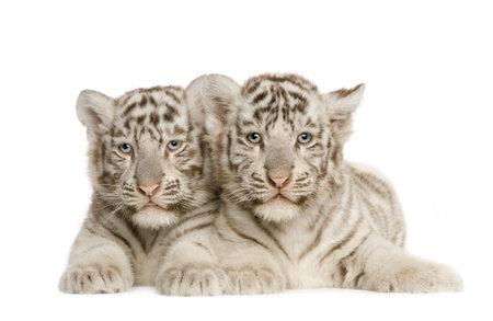 White Tiger ourson (2 mois) devant un fond blanc Banque d'images