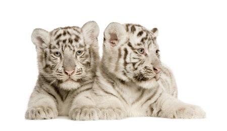 tigre blanc: White Tiger Cub (2 mois) devant un fond blanc  Banque d'images