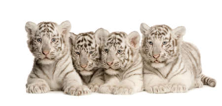 big brother: White Tiger cub (2 months) in front of a white background